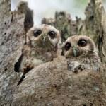 The Bare-legged Owl or Cuban Screech Owl (Gymnoglaux lawrencii) — Stock Photo
