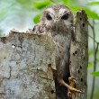 Bare-legged Owl or CubScreech Owl (Gymnoglaux lawrencii) — Stock Photo #13801298