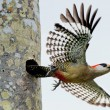 West Indian Woodpecker   ( Melanerpes superciliaris ) - Stock Photo
