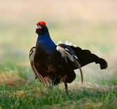 Lekking Black Grouse Lekking Black Grouse — Stock Photo