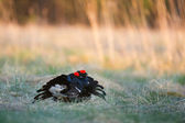 Lekking Black Grouses — Stock Photo