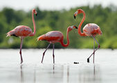 The pink Caribbean flamingo goes on water. — Stock Photo