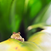 Cuban Tree Frog (Osteopilus Septentrionalis) — Stock Photo