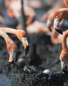 The crab in a nest of a flamingo steals an egg — Stock Photo