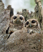 The Bare-legged Owl or Cuban Screech Owl (Gymnoglaux lawrencii) — 图库照片