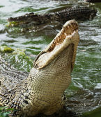 Mouth and teeth of the Cuban crocodile — Stock Photo