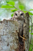 The Bare-legged Owl or Cuban Screech Owl (Gymnoglaux lawrencii) — Foto Stock