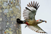West Indian Woodpecker ( Melanerpes superciliaris ) — Stock Photo