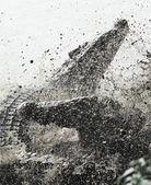 Crocodilo-cubano lutando — Foto Stock