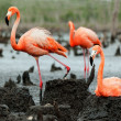 Flamingo (Phoenicopterus ruber) colony. — Stock Photo #38179895