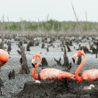 Flamingo (Phoenicopterus ruber) colony. — Stock Photo #38179927