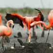 Flamingo (Phoenicopterus ruber) colony. — Stock Photo #38179939