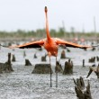 AmericFlamingo (Phoenicopterus ruber) — Stock Photo #38179961