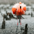 AmericFlamingo (Phoenicopterus ruber) — Stock Photo #38179981