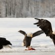 Bald Eagles — Stock Photo #38183683