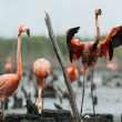 Flamingo (Phoenicopterus ruber) colony. — Stock Photo #38180031