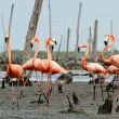 Flamingo (Phoenicopterus ruber) colony. — Stock Photo #38180065