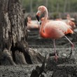 Stock Photo: AmericFlamingo (Phoenicopterus ruber)