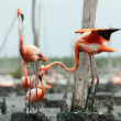 Flamingo (Phoenicopterus ruber) colony. — Stock Photo #38180257