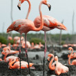 Flamingo (Phoenicopterus ruber) colony. — Stock Photo #38180291