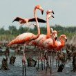 Flamingo (Phoenicopterus ruber) colony. — Stock Photo #38180371