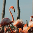 Flamingo (Phoenicopterus ruber) colony. — Stock Photo #38180373