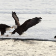 Bald Eagles — Stock Photo #38183547