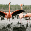Flamingo (Phoenicopterus ruber) colony. — Stock Photo #38183775