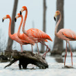 Flamingos walk on water. — Stock Photo #38183781