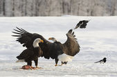 Bald Eagles — Stock Photo