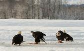 Bald eagles — Zdjęcie stockowe