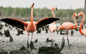 Flamingo (Phoenicopterus ruber) colony. — Stock Photo