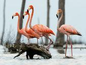 The flamingos walk on water. — Stock Photo