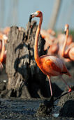 The American Flamingo (Phoenicopterus ruber) — Stock Photo