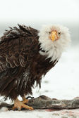 Close up Portrait of a Bald Eagle — Stock Photo
