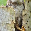 CubScreech-owl in Tree Hole — Stock Photo #38610919