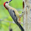 West IndiWoodpecker (Melanerpes superciliaris) — Stock Photo #38610947