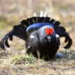 Portrait of lekking black grouse — Stock Photo #38611761