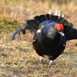 Portrait of lekking black grouse — Stock Photo #38611903
