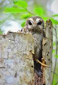Cuban Screech-owl in Tree Hole — Stock Photo