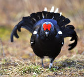 The Black Grouse at the Lek. — Stockfoto