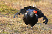 Portrait of a lekking black grouse — Stock Photo