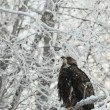 Bald eagle perched on snow branch — Stock Photo #39031051
