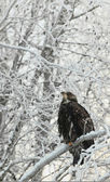 Bald eagle perched on snow branch — Stock Photo