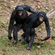 Photo: Males bonobo mating