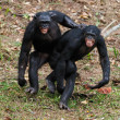 Stock Photo: Males bonobo mating