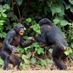 Постер, плакат: Fighting Chimpanzee