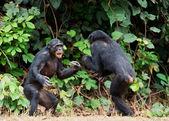 Fighting Chimpanzee — Stock Photo