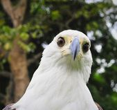The African Fish Eagle (Haliaeetus vocifer) Portrait of an African Fish Eagle — Stock Photo