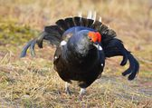 The Black Grouse at the Lek. — Stock Photo